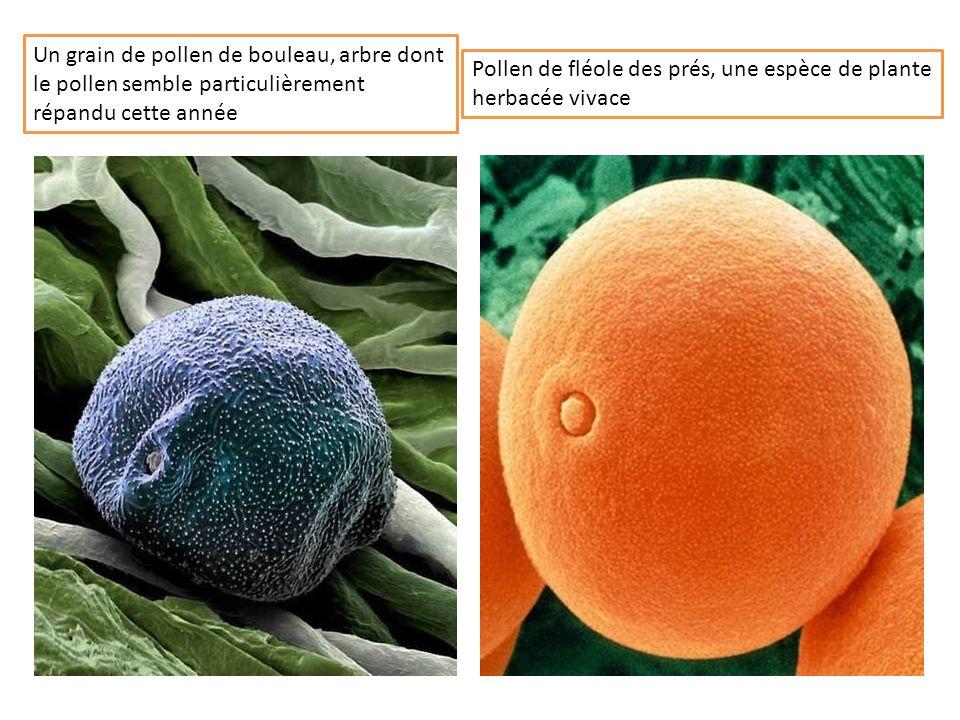 Un grain de pollen de bouleau, arbre dont le pollen semble particulièrement répandu cette année Pollen de fléole des prés, une espèce de plante herbacée vivace