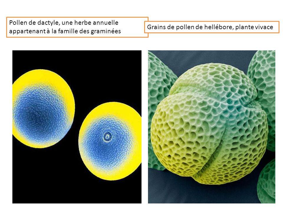 Pollen de dactyle, une herbe annuelle appartenant à la famille des graminées Grains de pollen de hellébore, plante vivace