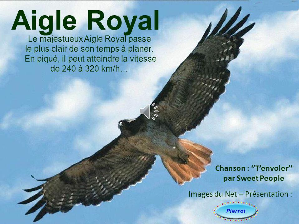 Aigle Royal Le majestueux Aigle Royal passe le plus clair de son temps à planer.