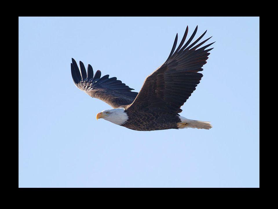 Le Pygargue à tête blanche est une espèce de rapaces qui vit en Amérique du Nord. Malgré son nom anglais de Bald Eagle « aigle chauve » ou sa dénomina