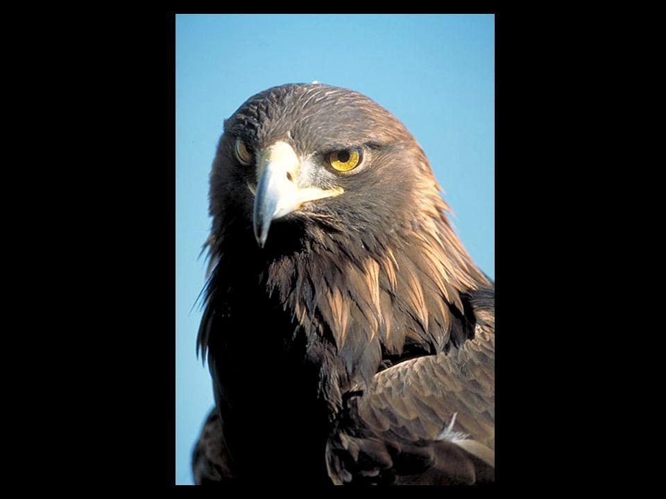 Cet oiseau se distingue par son régime alimentaire, essentiellement composé de poissons, mais aussi par son bec massif et par le fait que ses pattes ne sont pas recouvertes de plumes jusqu aux serres, l un des caractères propres aux vrais aigles.