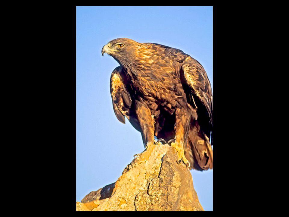 Le plumage du jeune est blanc jusqu à ce que l individu atteigne sa maturité sexuelle, vers l âge de quatre ou cinq ans.