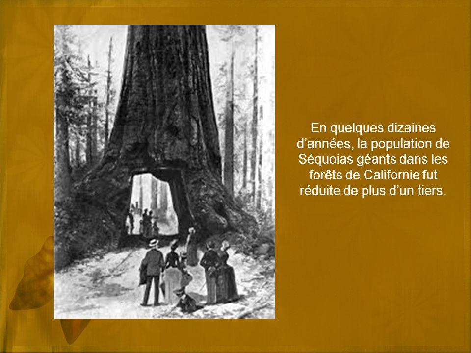 En quelques dizaines dannées, la population de Séquoias géants dans les forêts de Californie fut réduite de plus dun tiers.