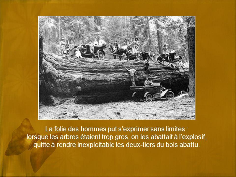 La folie des hommes put sexprimer sans limites : lorsque les arbres étaient trop gros, on les abattait à lexplosif, quitte à rendre inexploitable les