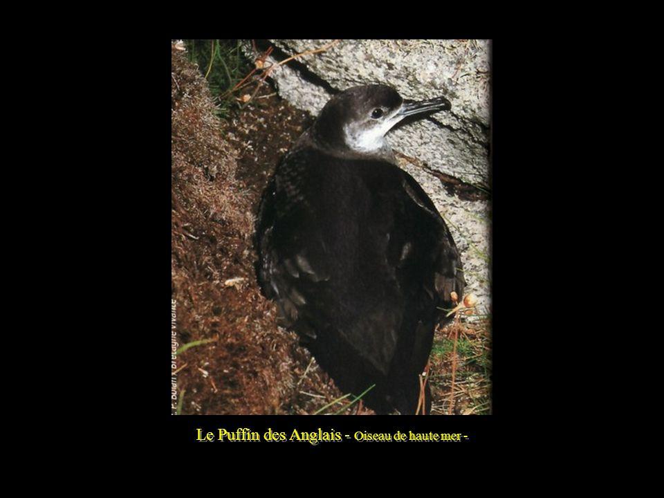 Le Phoque gris