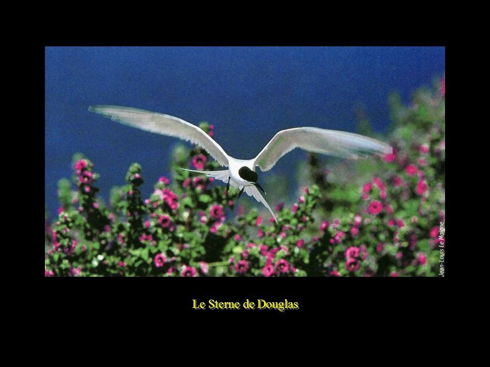 Le Puffin des Anglais - Oiseau de haute mer -