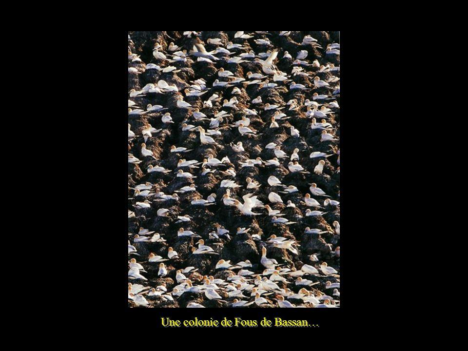 Colonie de Fous de Bassan - Ile Rouzic - Lîle Rouzic, vue de loin, a des airs de sommets alpins enneigés… Ambiance « Hitchcockienne » : lhomme nest pas admis dans cet univers protégé.