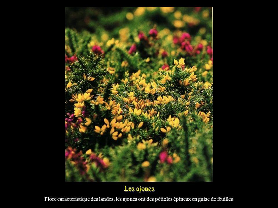 Une prairie de Narcisses Sur larchipel des Glénan, au large de Concarneau, pousse le Narcisse des Glénan.