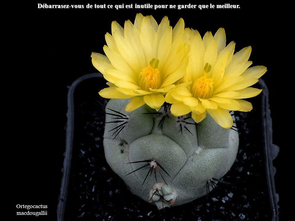 Copiapoa tenuissima Aussi difficle que soit la situation elle ne pourra que saméliorer.