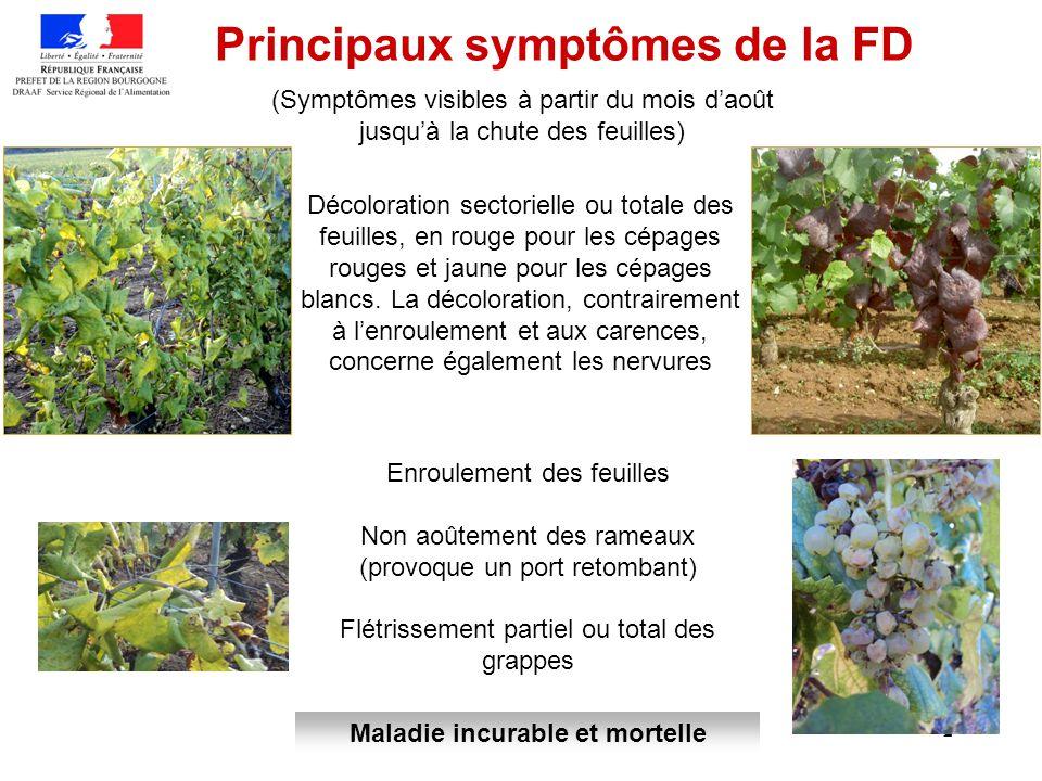 2 Principaux symptômes de la FD (Symptômes visibles à partir du mois daoût jusquà la chute des feuilles) Décoloration sectorielle ou totale des feuill