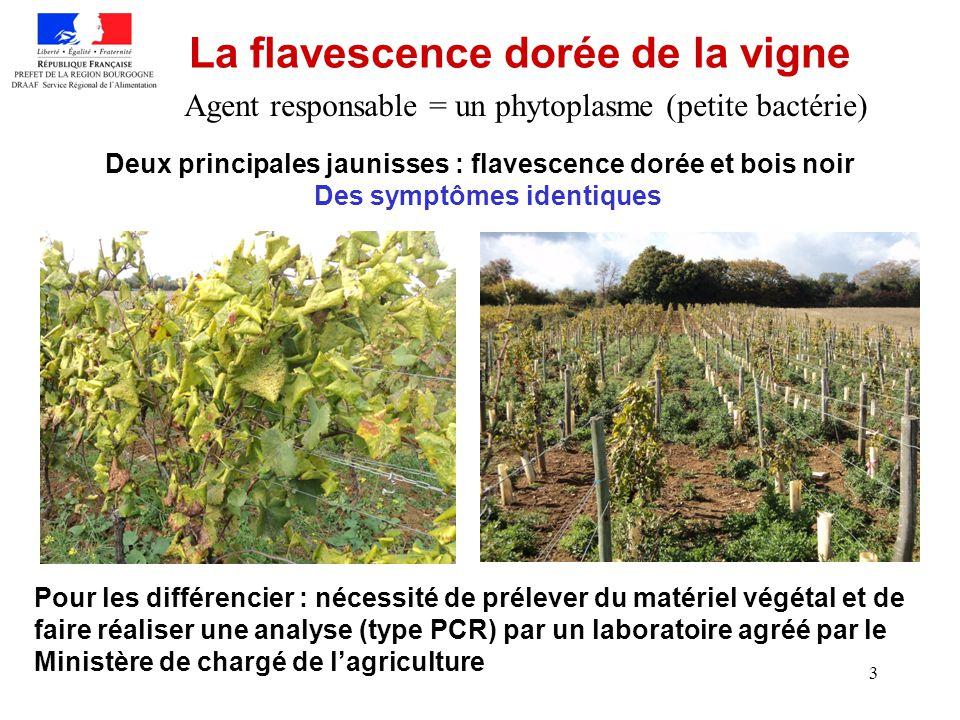 3 La flavescence dorée de la vigne Deux principales jaunisses : flavescence dorée et bois noir Pour les différencier : nécessité de prélever du matéri