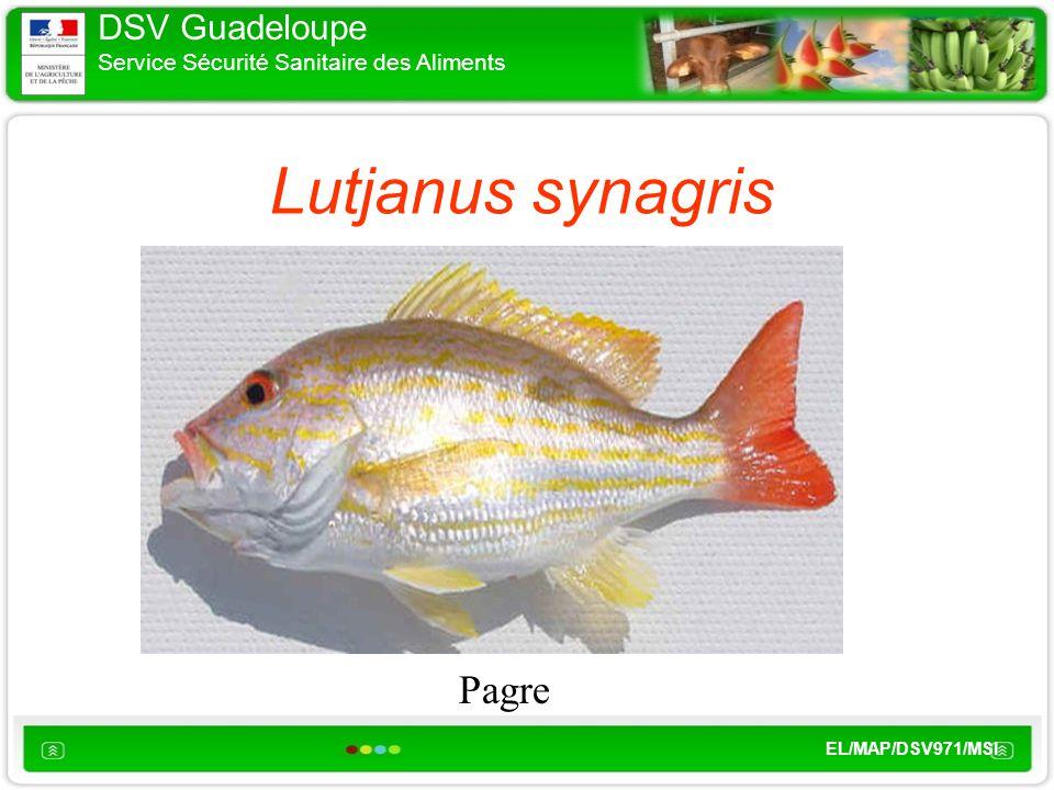 DSV Guadeloupe Service Sécurité Sanitaire des Aliments EL/MAP/DSV971/MSI Lutjanus synagris Pagre