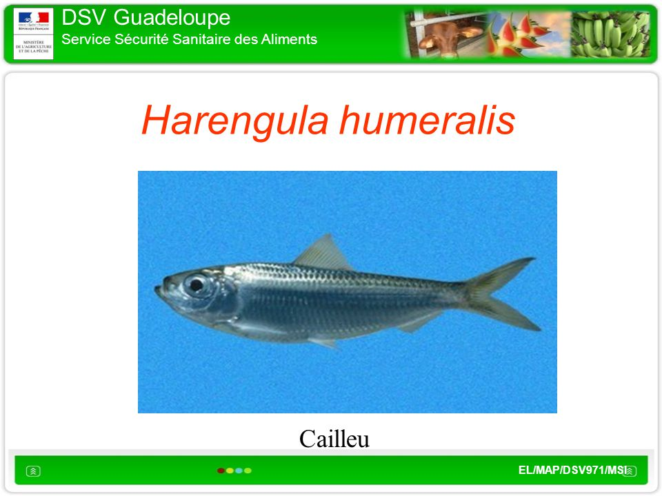 DSV Guadeloupe Service Sécurité Sanitaire des Aliments EL/MAP/DSV971/MSI Harengula humeralis Cailleu