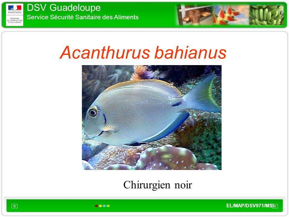 DSV Guadeloupe Service Sécurité Sanitaire des Aliments EL/MAP/DSV971/MSI Acanthurus bahianus Chirurgien noir