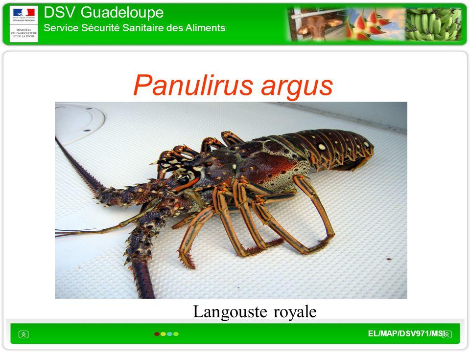 DSV Guadeloupe Service Sécurité Sanitaire des Aliments EL/MAP/DSV971/MSI Panulirus argus Langouste royale