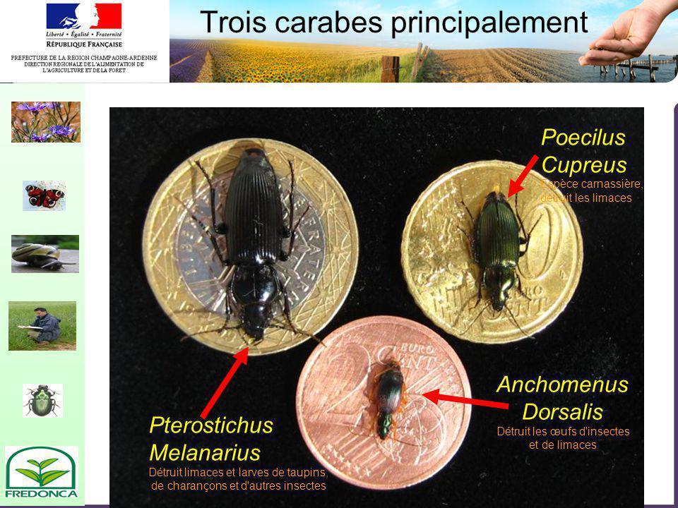 Biovigilance- restitution du réseau champardenais Trois carabes principalement Pterostichus Melanarius Détruit limaces et larves de taupins, de charan