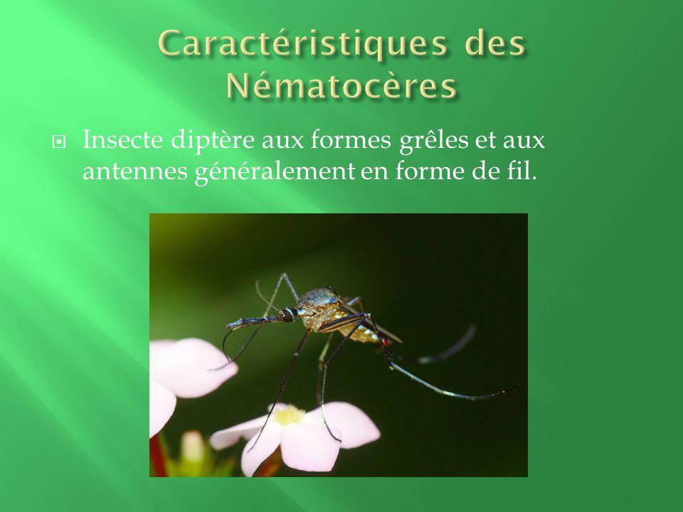 Insecte diptère aux formes grêles et aux antennes généralement en forme de fil.