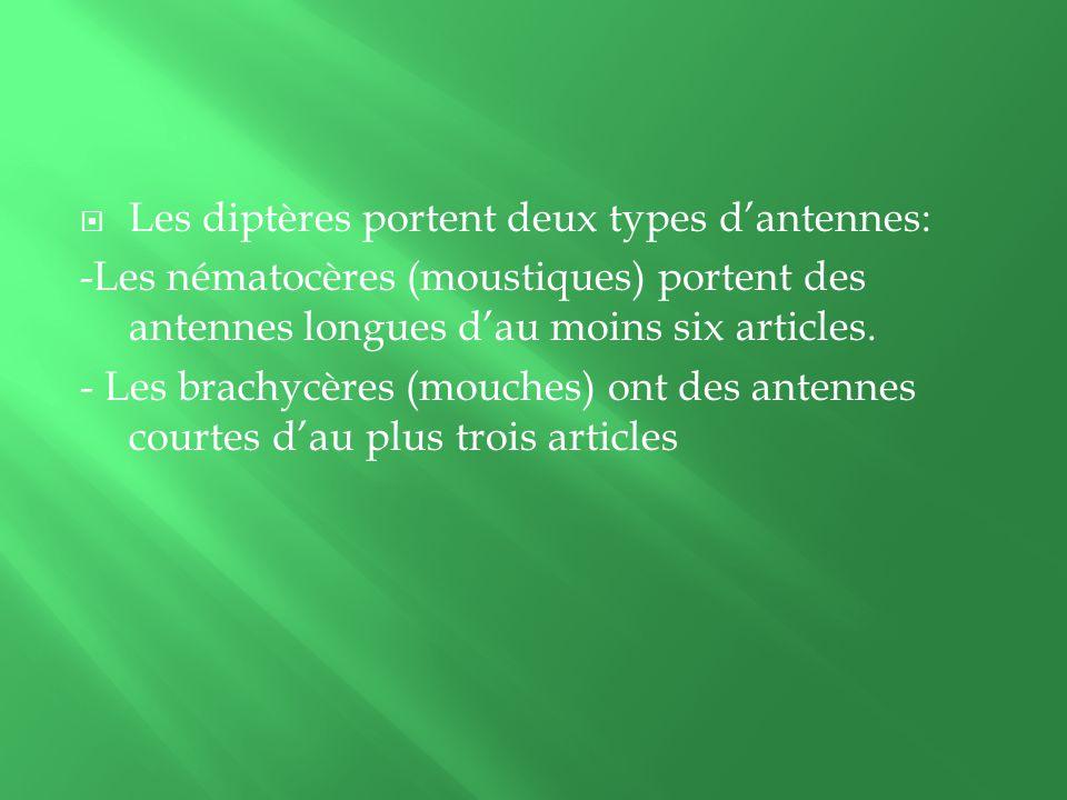 Les diptères portent deux types dantennes: -Les nématocères (moustiques) portent des antennes longues dau moins six articles.