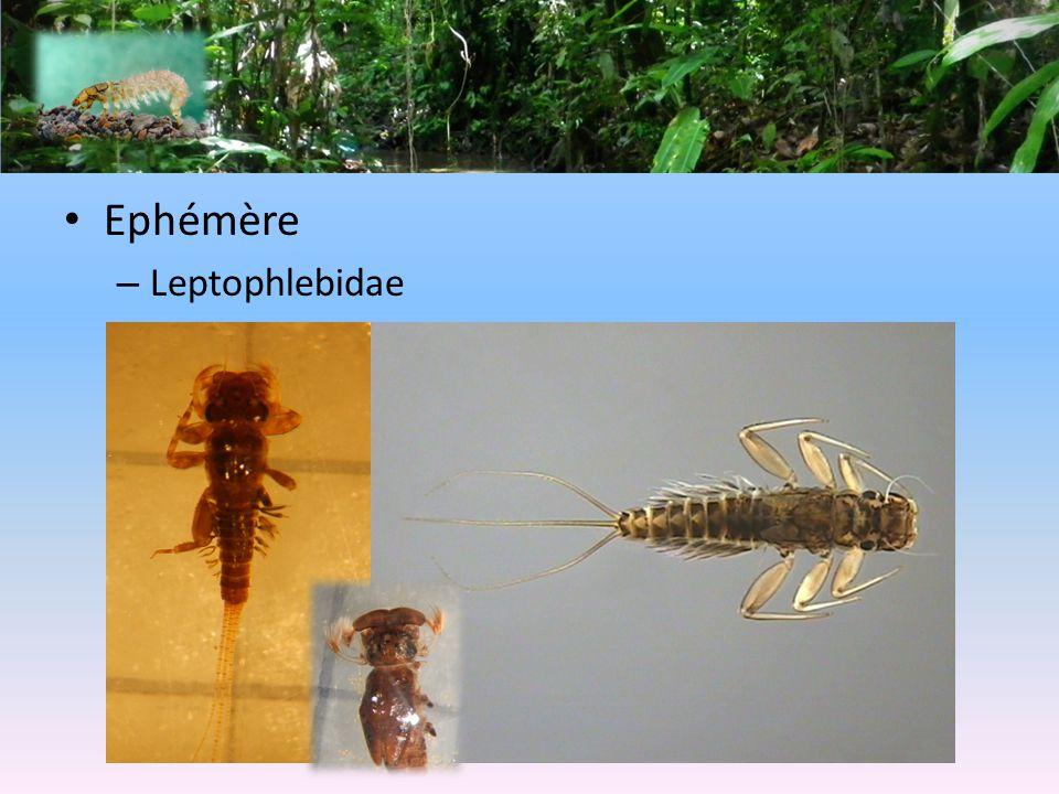 Ephémère – Leptophlebidae