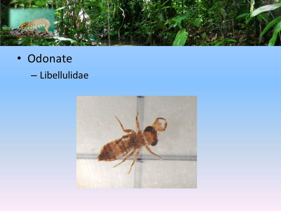 Odonate – Libellulidae