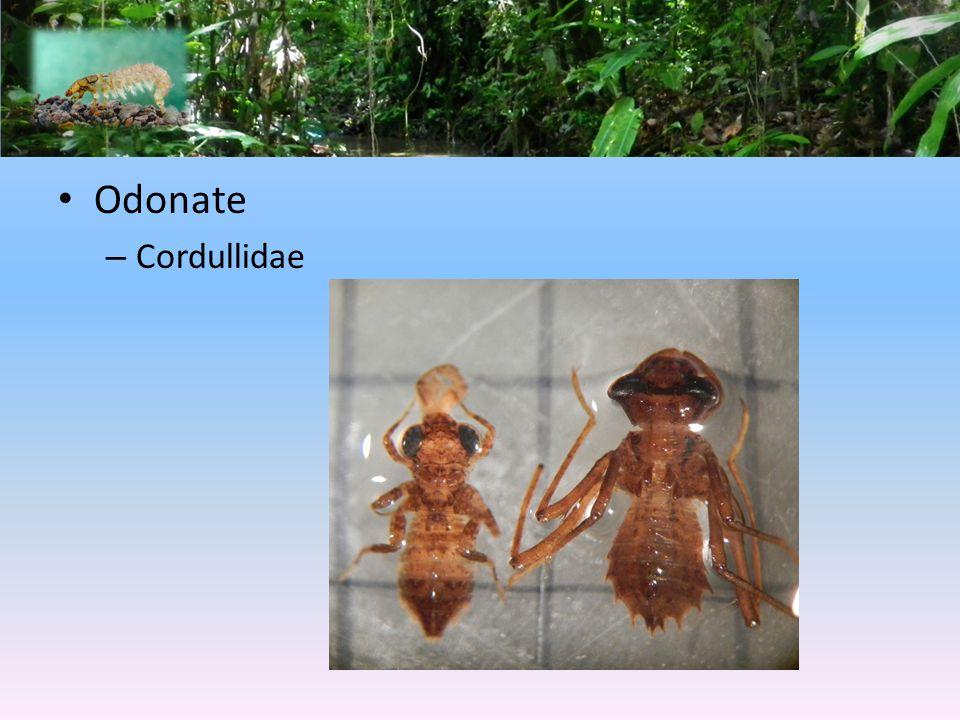 Odonate – Cordullidae