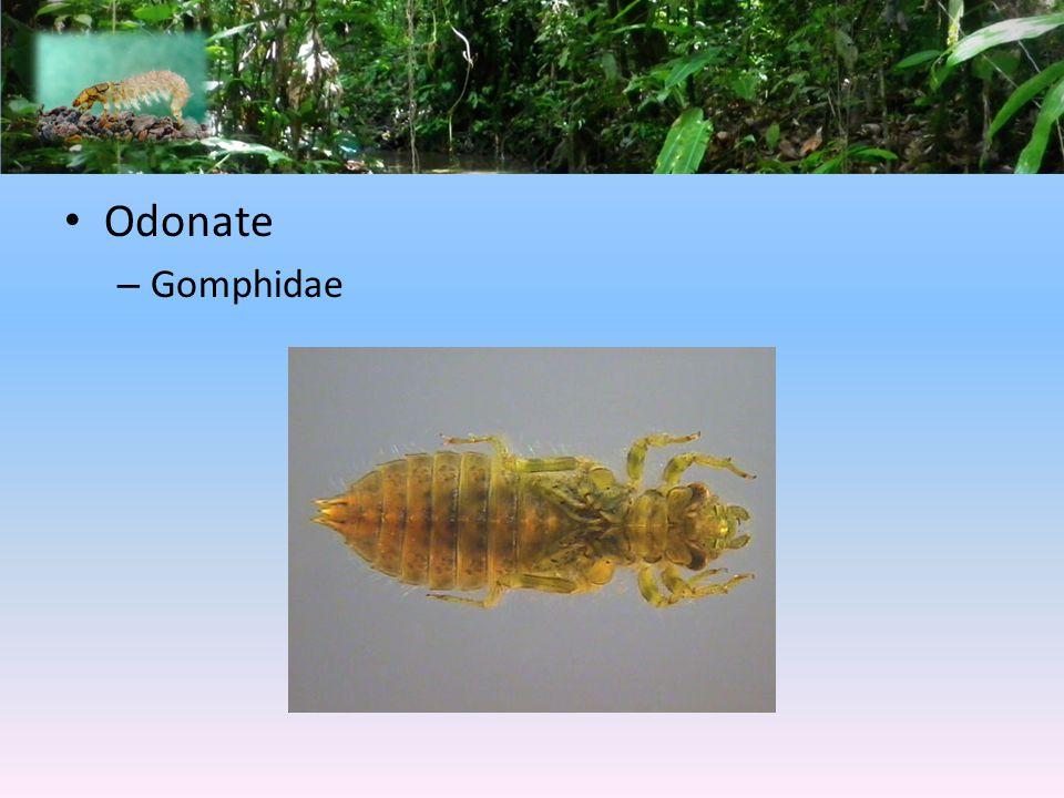 Odonate – Gomphidae