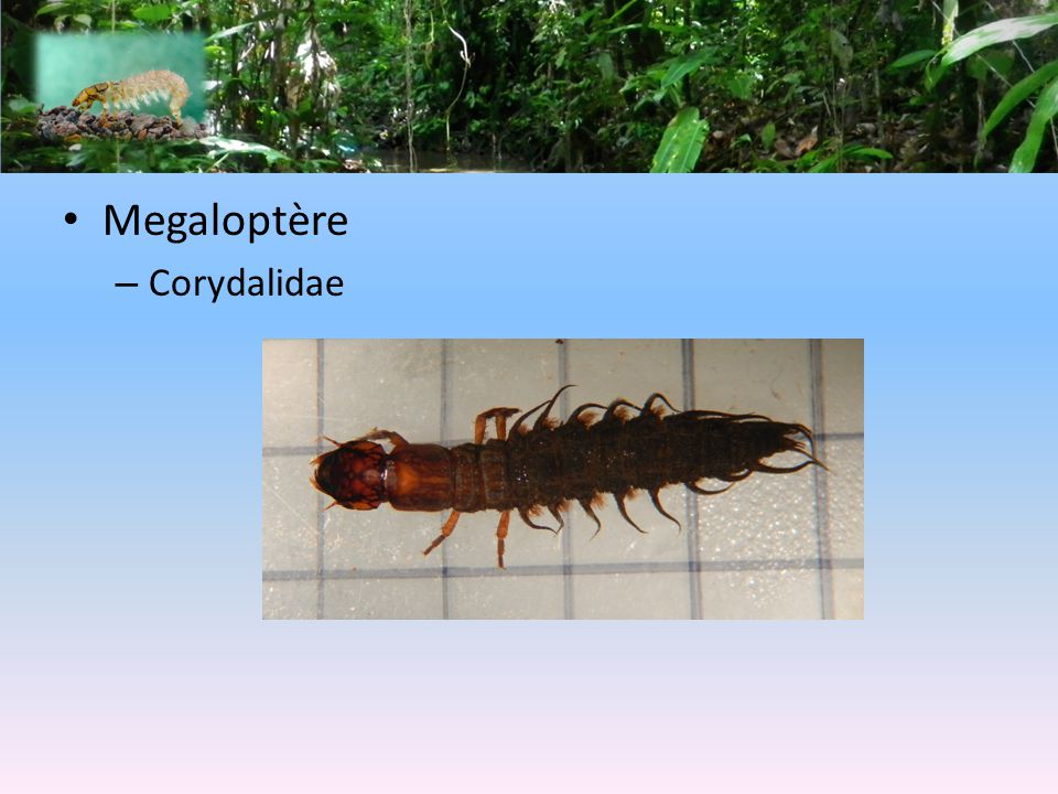 Megaloptère – Corydalidae
