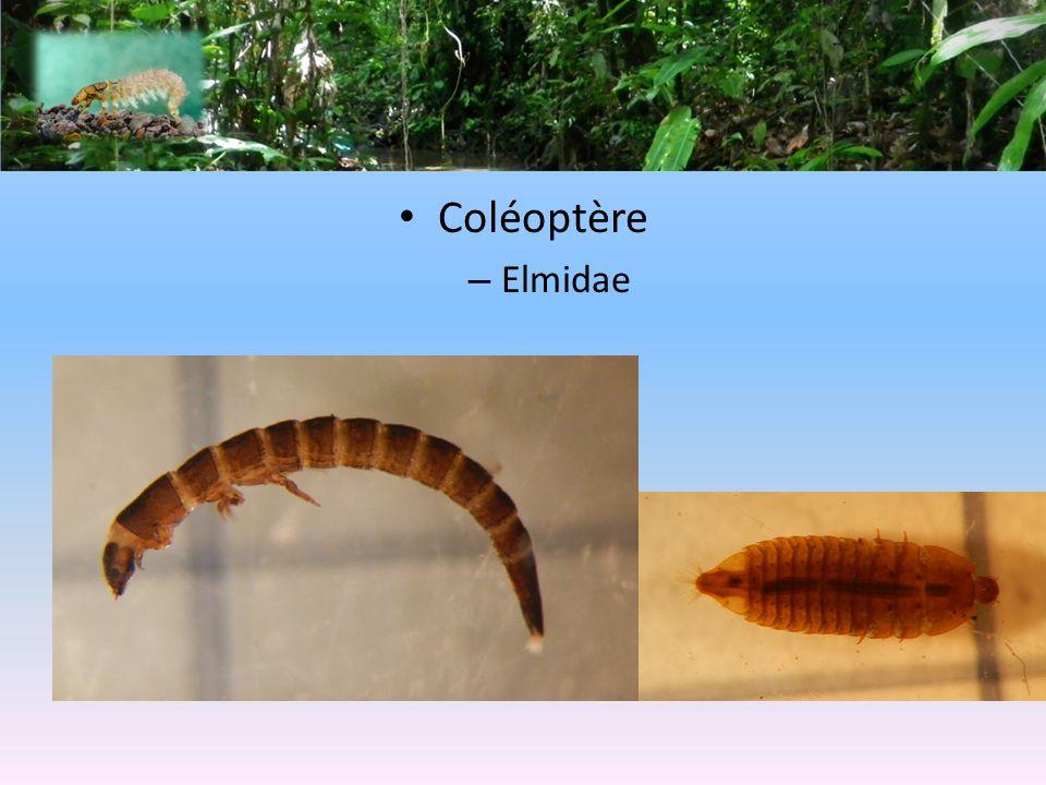 Coléoptère – Elmidae