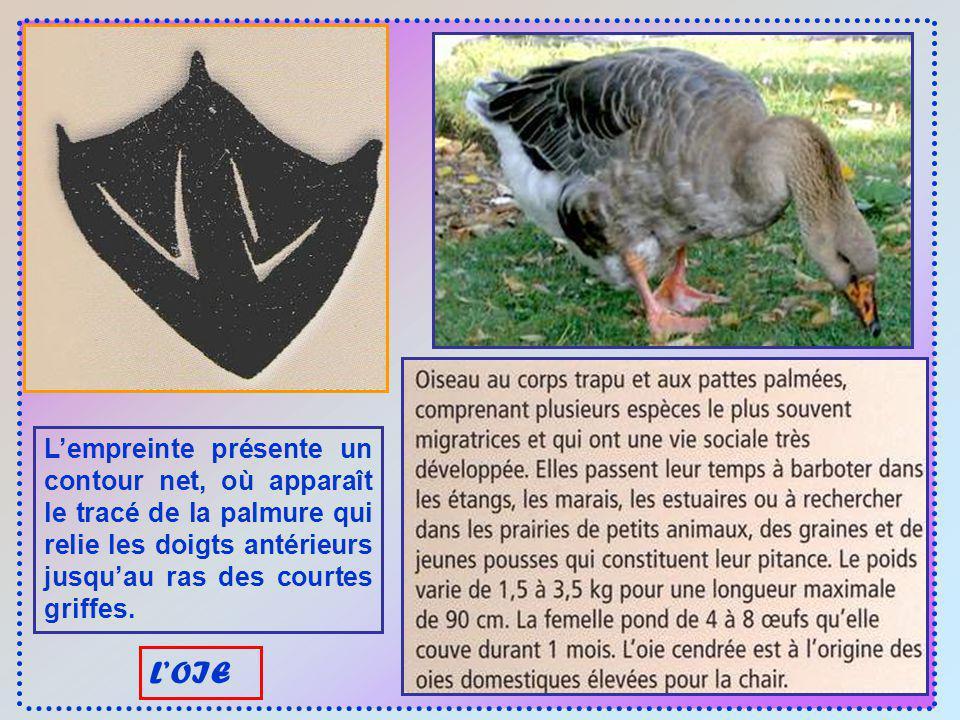 Les empreintes du canard, de 5 à 6 cm, ressemblent à celles des oies mais sont plus petites, aux doigts plus fins et aux griffes plus longues. LE CANA