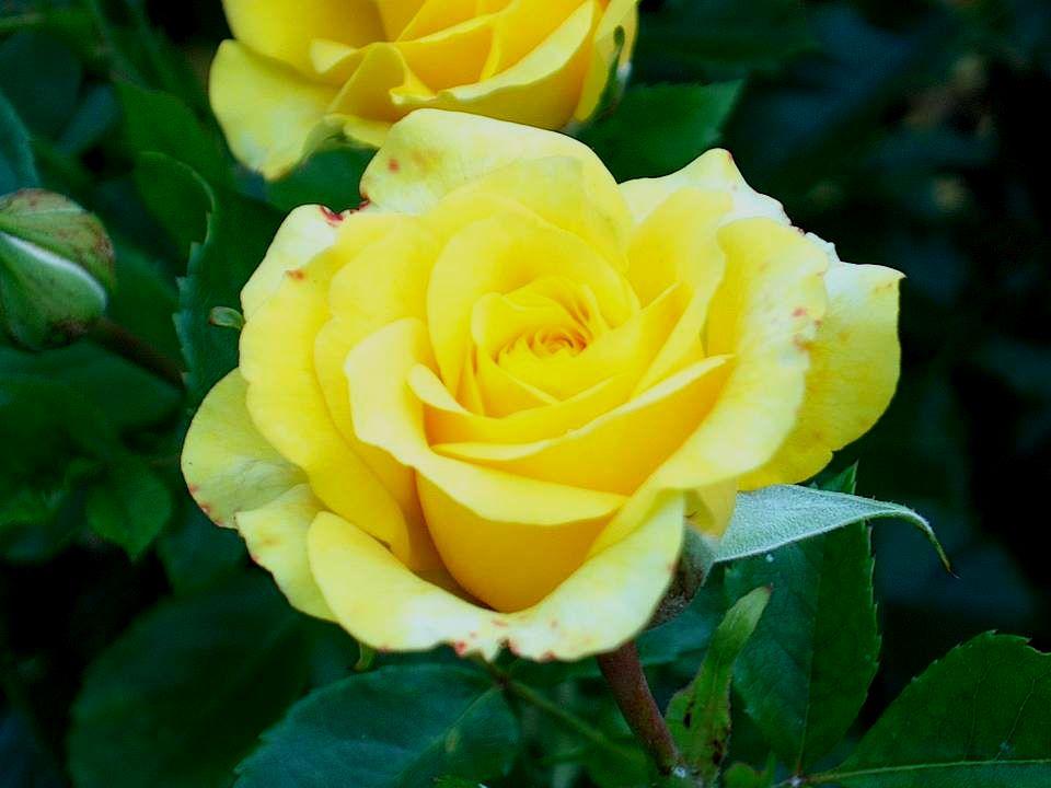 Selon ma variété, une fragrance Légère sévapore en abondance Vous me plantez, me bichonnez.