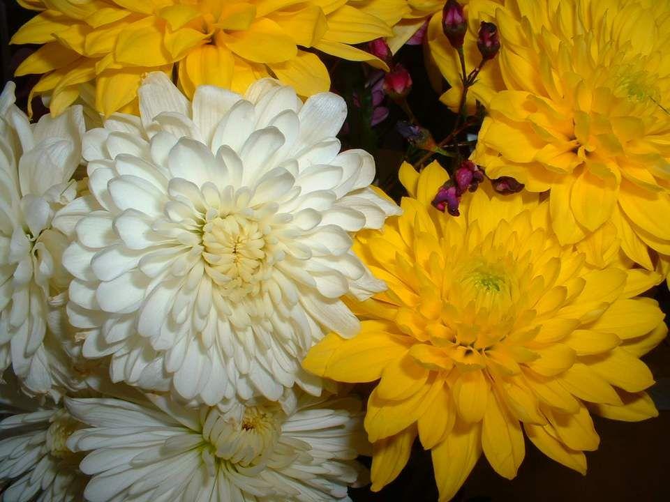 Daucuns me surnomment Fleur des morts. Ou des cimetières ! Je prospère avec la bruyère. Belphégor estival, ténor de lautomne. Mes couleurs vives baryt