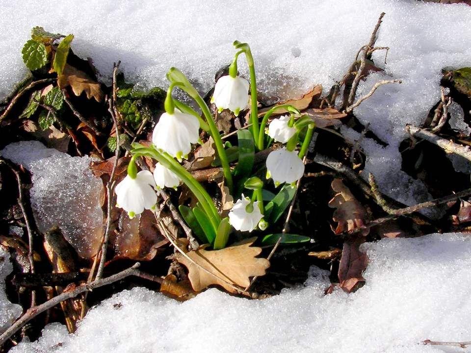 Galant Hus Nivalis. Mais, je vous en prie Appelez-moi Perce-neige. Je suis le LA du solfège, La note blanche des sols ombragés, La reine du froid et d