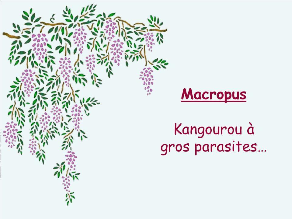 Macropus Kangourou à gros parasites…