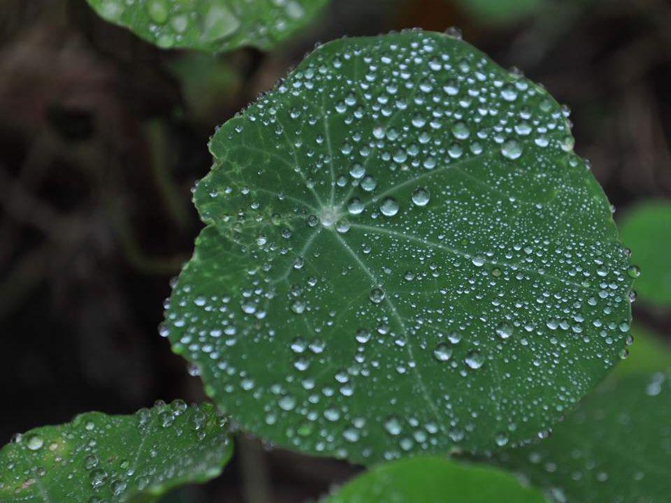 Glissant au bord des feuilles, les gouttes doucement suspendent sous nos yeux leurs colliers irisés.