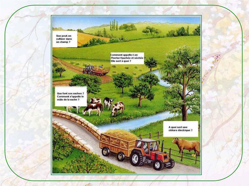 Le bélier marche souvent à la tête du troupeau. Il a une grosse cloche au cou. ainsi les brebis savent où il est et ne se perdent pas. Les petits agne