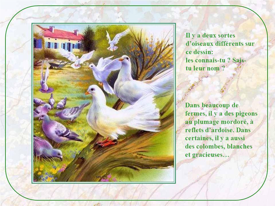 Le coq et la poule surveillent leurs petits poussins. Mais dordinaire, seule la poule soccupe de ses petits, le coq parade dans la basse-cour ! Les oi