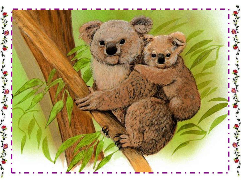 LE KOALA Le koala est-il un petit ours .Le koala est lanimal le plus populaire en Australie.