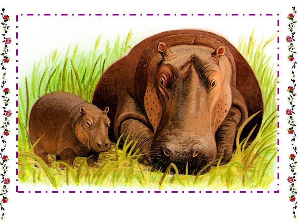 LHIPPOPOTAME Lhippopotame passe-t-il sa vie dans leau .