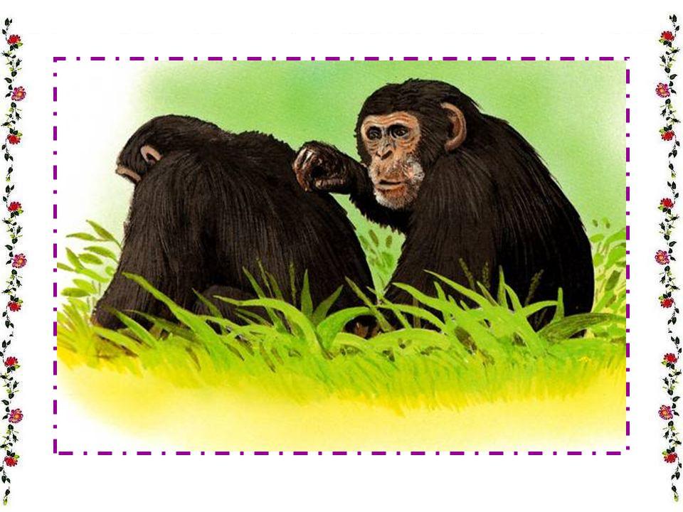 Pourquoi le gorille se frappe-t-il la poitrine .