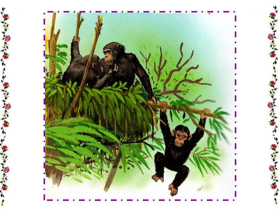 LE CHIMPANZÉ Le chimpanzé est-il intelligent .