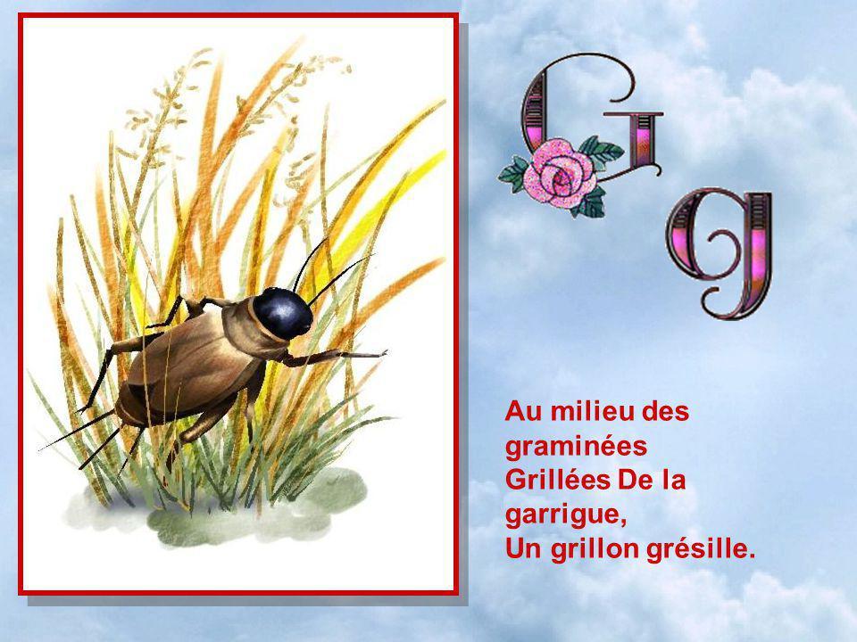 Au milieu des graminées Grillées De la garrigue, Un grillon grésille.