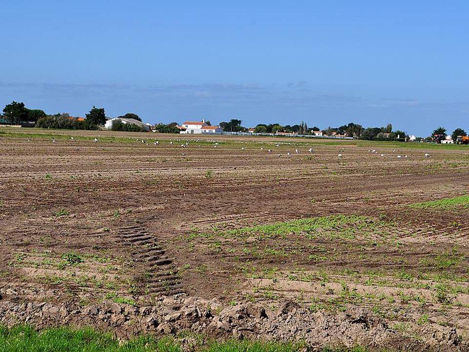 Jallais oublier de vous parler de la culture de la pomme de terre sur ces étendues sableuses, une autre des richesses de Noirmoutier.