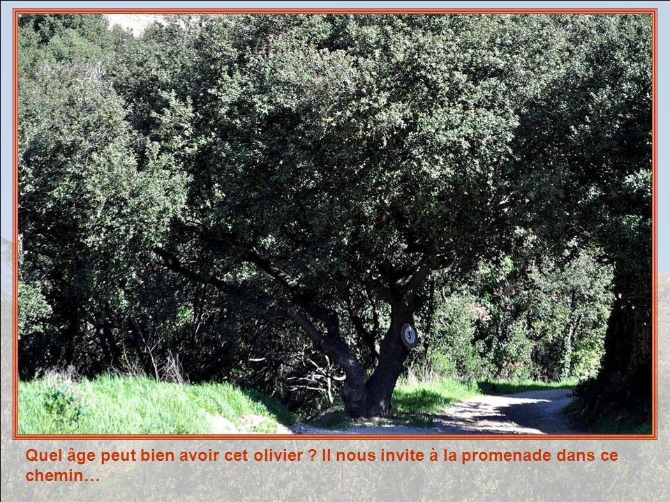 Quel âge peut bien avoir cet olivier ? Il nous invite à la promenade dans ce chemin…