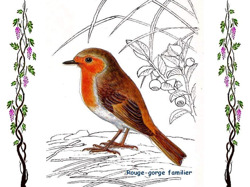 Le gobe-mouches à collier Début mai, ou même fin avril si le temps est chaud, un bel oiseau au plumage noir et blanc apparaît dans les parcs, les jard