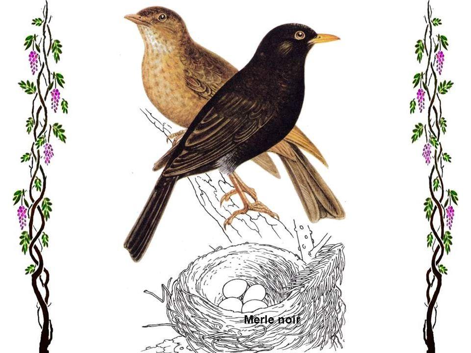 Le jaseur boréal Sa patrie sétend sur toutes les régions froides du nord de lEurope, de lAsie et de lAmérique du Nord. Il vit dans les forêts de conif