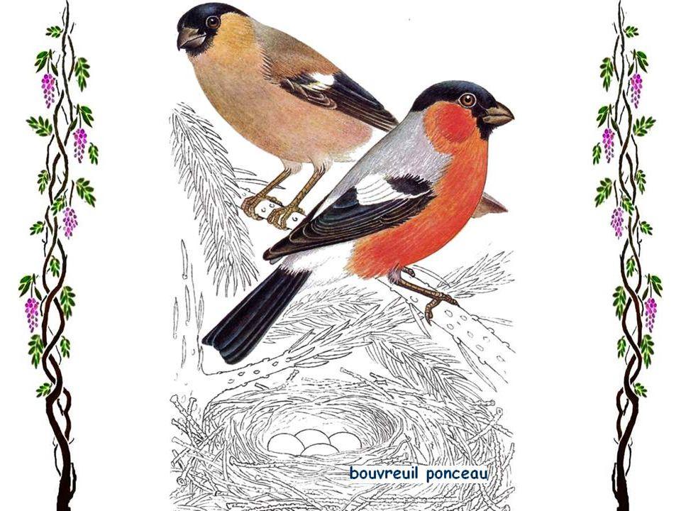 Le chardonneret élégant On rencontre le chardonneret élégant, un des oiseaux chanteurs les plus bigarrés, dans toute lEurope, excepté le Grand Nord. À