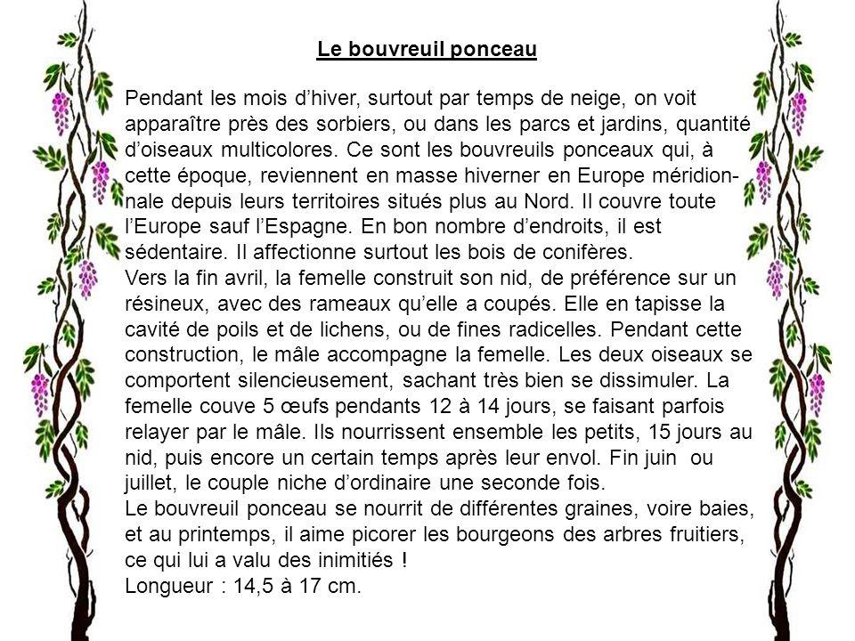 Le bouvreuil ponceau Pendant les mois dhiver, surtout par temps de neige, on voit apparaître près des sorbiers, ou dans les parcs et jardins, quantité doiseaux multicolores.