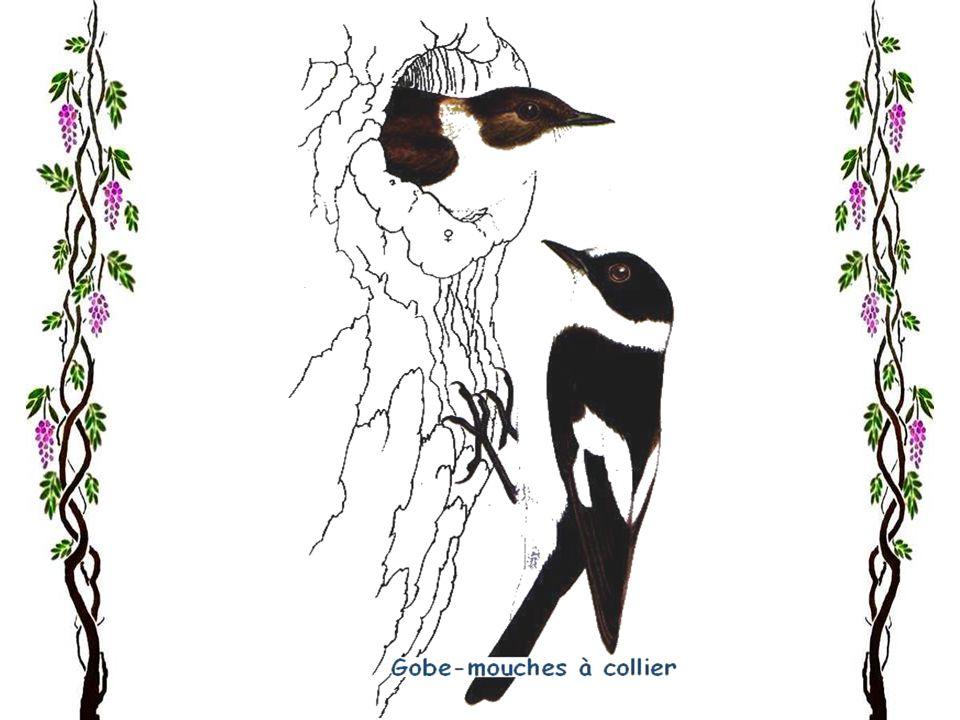La gorge-bleue La gorge-bleue ordinaire est répandue surtout dans le nord et lest de lEurope, Plus rarement, elle nidifie aussi dans le centre et loue