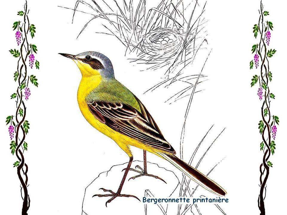 Bergeronnette grise Jai une tendresse particulière pour cet oiseau gai et toujours en mouvement, qui arrive presque jusquà nos pieds. Ici, nous lappe-