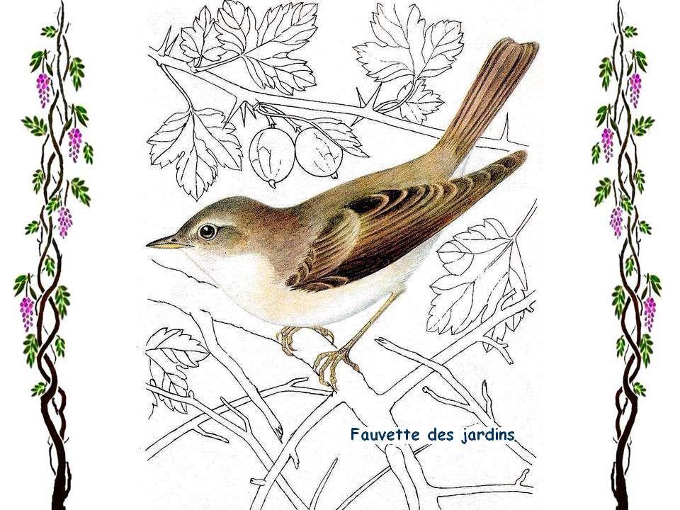 Troglodyte mignon Toutes les forêts dEurope sont habitées par le troglodyte mignon, lun des plus petits oiseaux européens, qui ne pèse que 8 à 9 gr. M